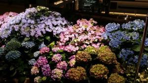 先週と同じく『紫陽花』です。